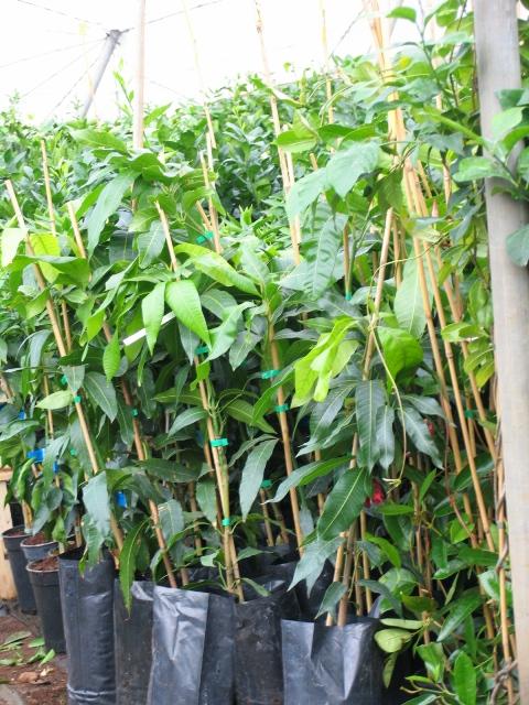 Rboles frutales en este vivero tenemos un sue o para for Viveros de arboles frutales en chihuahua
