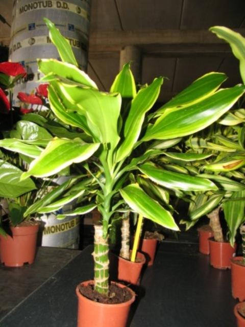 Plantas en este vivero tenemos un sue o para que t for Precio abeto vivero